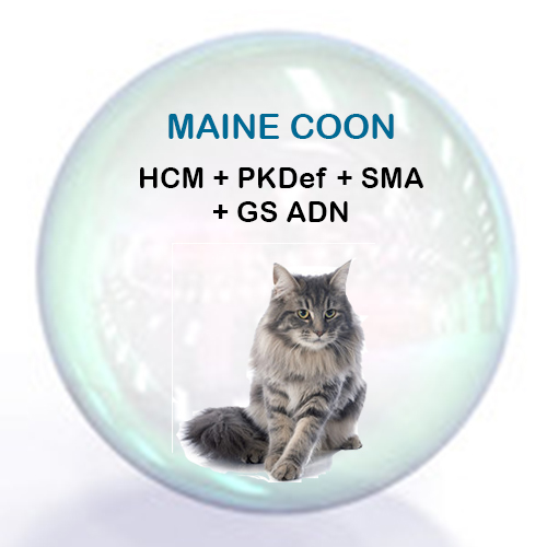Pack Maine Coon